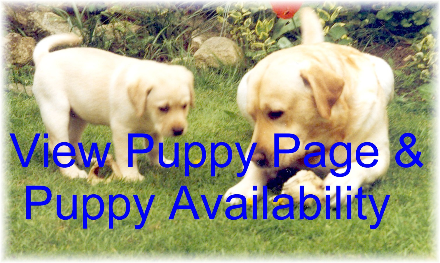 View Puppy Page and availability of Labrador Puppies for sale
