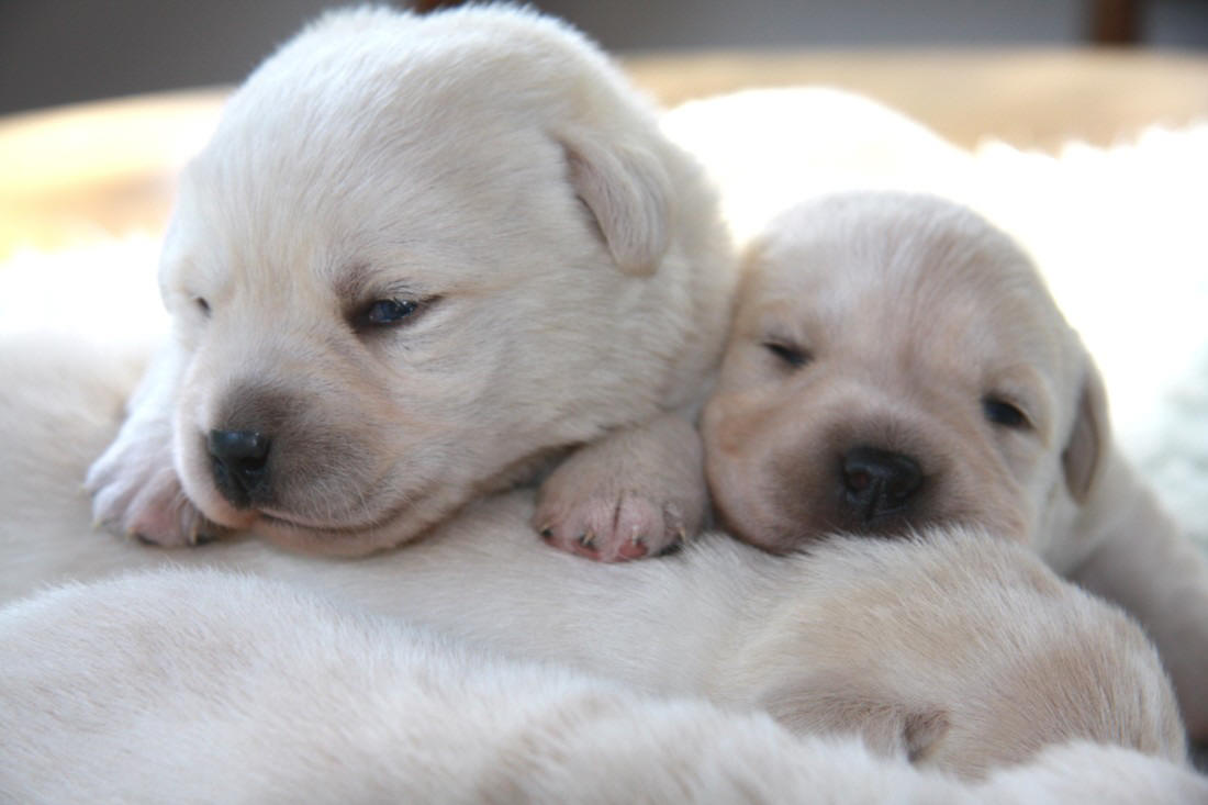 Yellow Labrador Puppies at two weeks of age