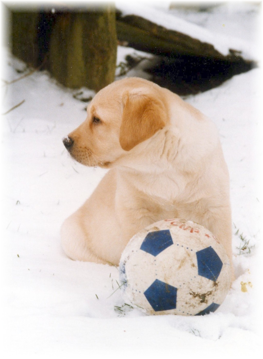 "Labrador Puppy ""Sam"" playing football in the snow."